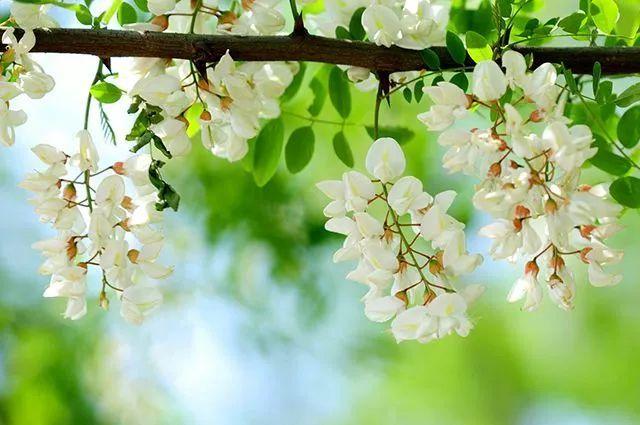 记忆中的春雨,童年里的槐花