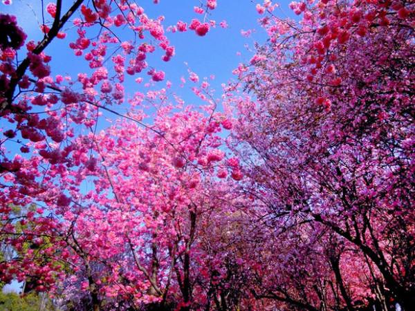 五月的樱花与钢花