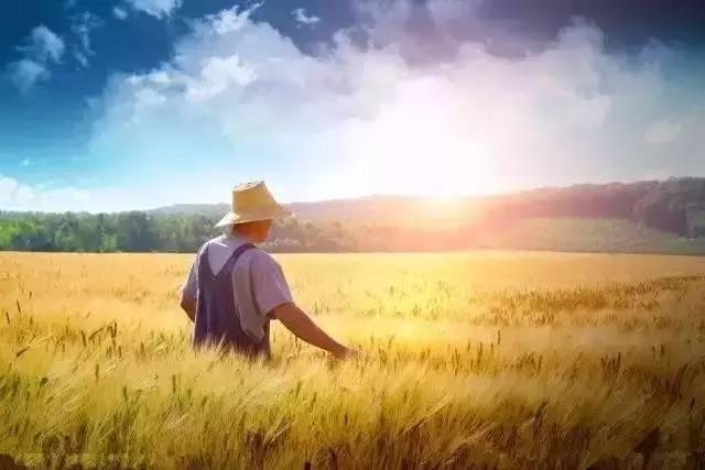 岭上麦子黄