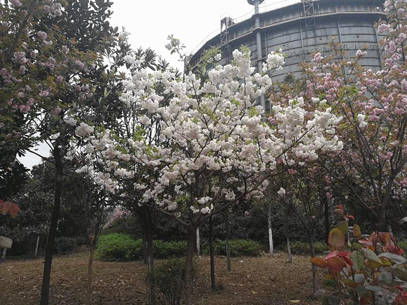 【美丽汉钢】美翻了,一起到汉钢来赏花!